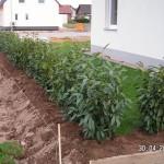 Fertige Kirschlorbeer-Hecke vor dem Haus