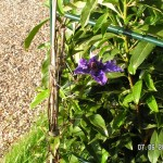 Die erste Clematis-Blüte geht auf