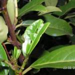Beschädigte junge Blätter beim Kirschlorbeer
