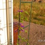 Clematis Multi Blue hat die ersten Blüten