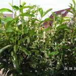 Kirschloorbeer blüht zum zweiten Mal