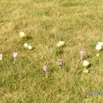 Frische Krokusse blühen im Rasen