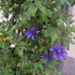 Auch Clematis Multi Blue kommt zum Vorschein