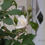 Die ersten zarten weißen Blüten gehen auf