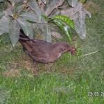 Amsel-Mama besorgt sich Material fürs Nest