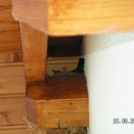 Hier sitzt sie schon im Nest auf der Firstpfette