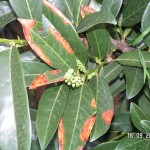 Ein Pilz greift die jungen Blätter an
