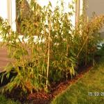 Die Bambushecke sitzt: 5 Pflanzen 90/110 cm