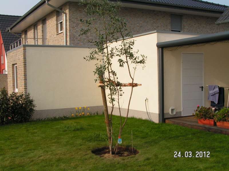 eukalyptus baum pflanzen baublog von katja alexey. Black Bedroom Furniture Sets. Home Design Ideas
