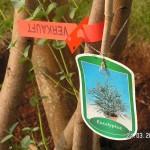 Dieser Eukalyptus gunnii ist jetzt unser