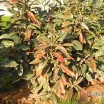 Starke Frostschäden an älteren Kirschlorbeer-Sträuchern