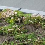 Sedumspflanzen blühen im Juni