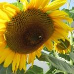 Gigantische Sonnenblumen waren ein Erfolg