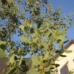Eukalyptus treibt immer wieder aus