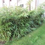 Bambushecke etwas dichter geworden