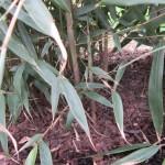 Starke neue Bambustriebe im Mai