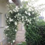 Die Kletterrose wieder schön in der Blüte