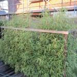 Die Bambushecke viel höher geworden